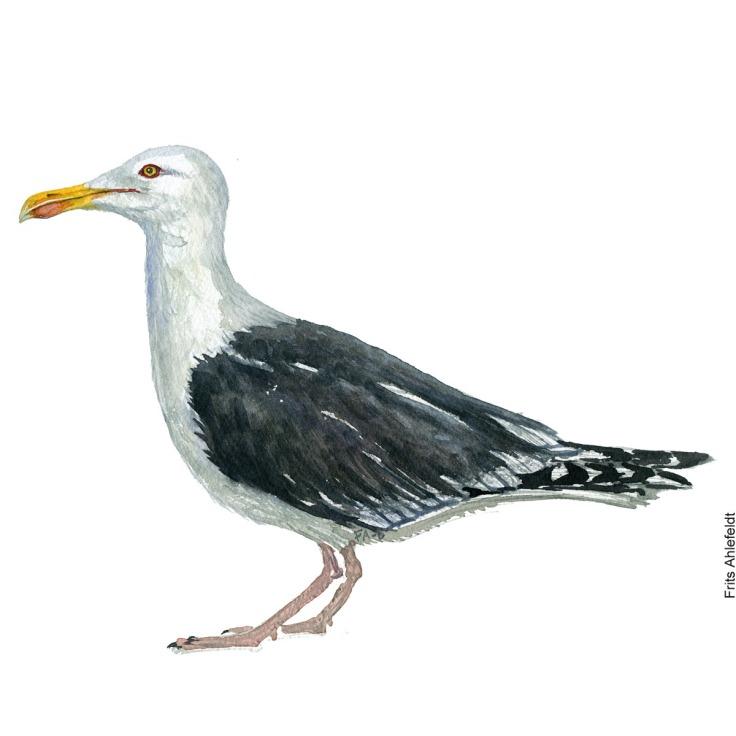 Svartbag - Great black-backed gull. Bird watercolor. Fugle akvarel af Frits Ahlefeldt