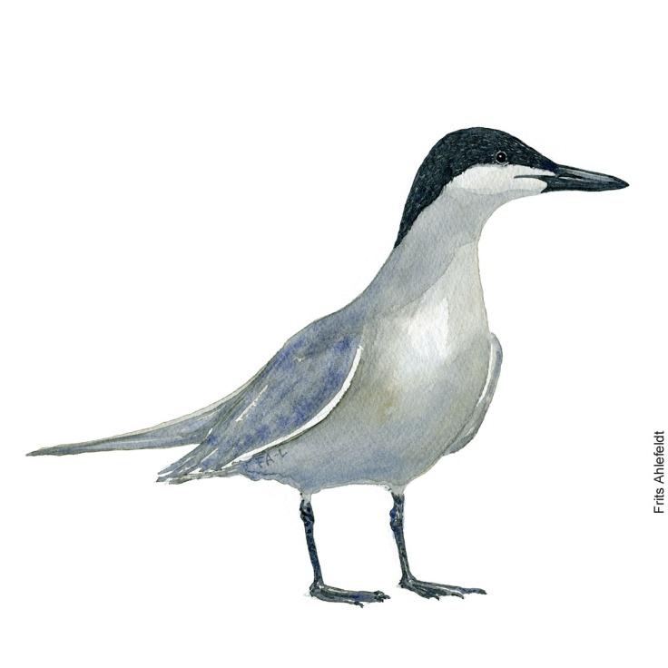 sandterne - gull-billed tern Bird watercolor. Fugle akvarel af Frits Ahlefeldt