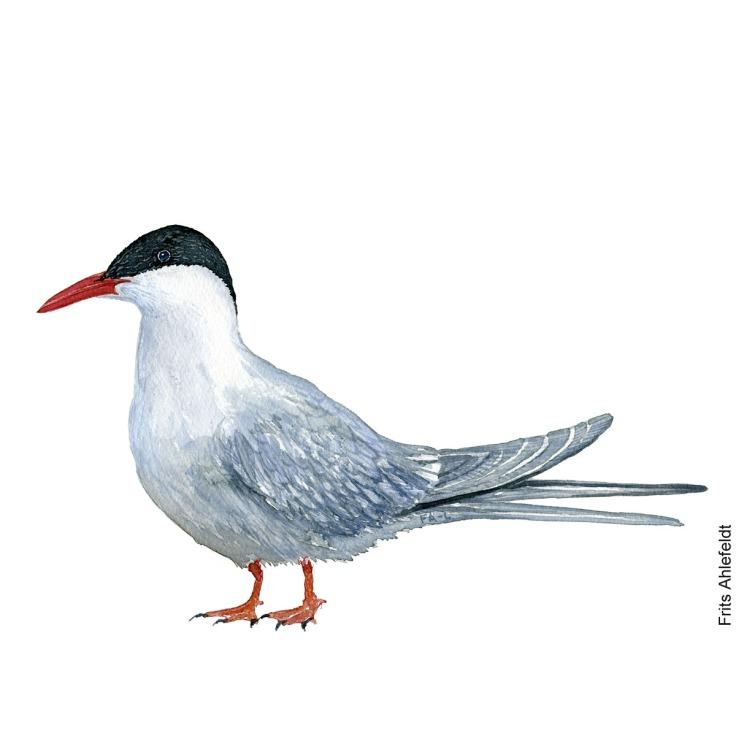 havterne - Arctic tern Bird watercolor. Fugle akvarel af Frits Ahlefeldt