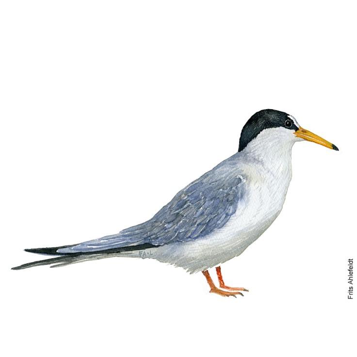 Dvaergterne - little tern Bird watercolor. Fugle akvarel af Frits Ahlefeldt