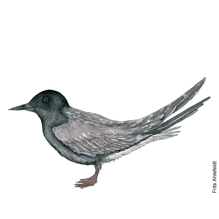 Black tern - Sortterne Bird watercolor. Fugle akvarel af Frits Ahlefeldt