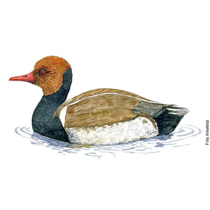 Red-crested pochard - roedhovedet and Bird watercolor. Fugle akvarel af Frits Ahlefeldt