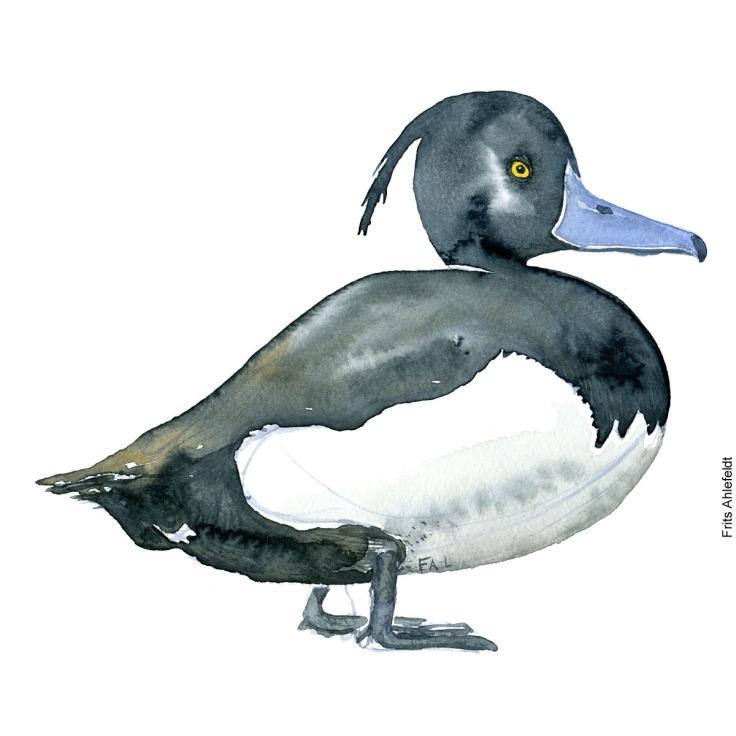 Troldand - Tufted duck Bird watercolor. Fugle akvarel af Frits Ahlefeldt