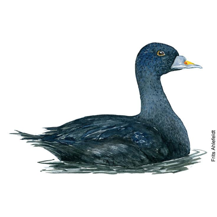 Common scooter - Sortand Bird watercolor. Fugle akvarel af Frits Ahlefeldt