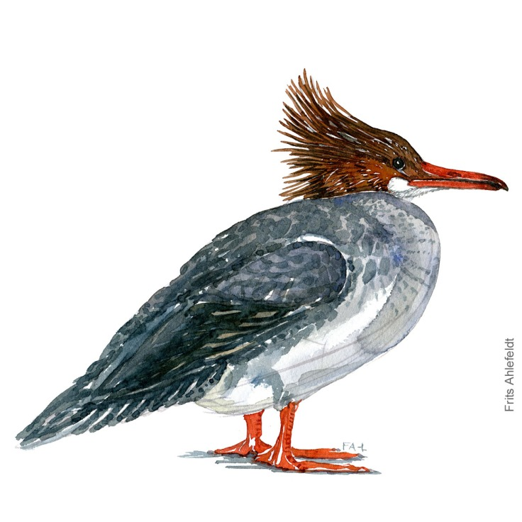 Stor skallesluger - Common merganser Bird watercolor. Fugle akvarel af Frits Ahlefeldt