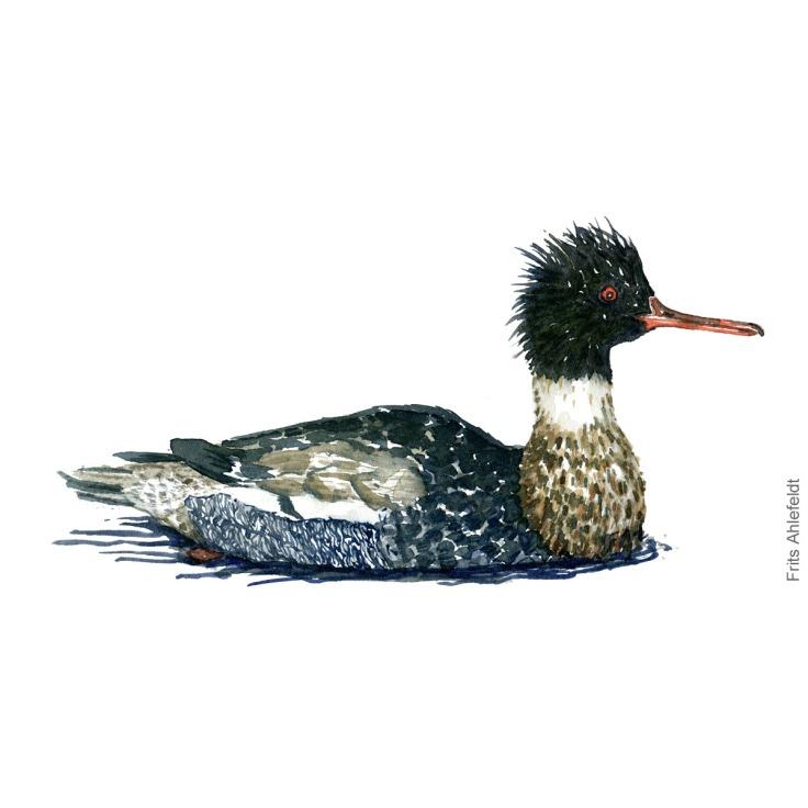 Toppet skallesluger - Red breasted merganser Bird watercolor. Fugle akvarel af Frits Ahlefeldt