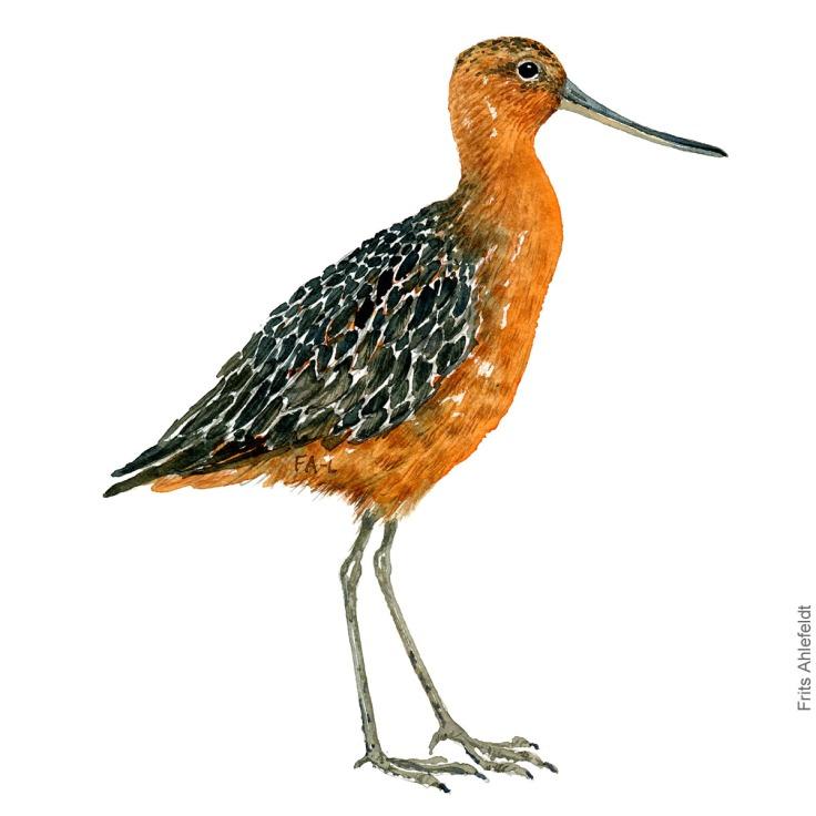 Lille kobbersneppe - Bar-tailed godwit Bird watercolor. Fugle akvarel af Frits Ahlefeldt