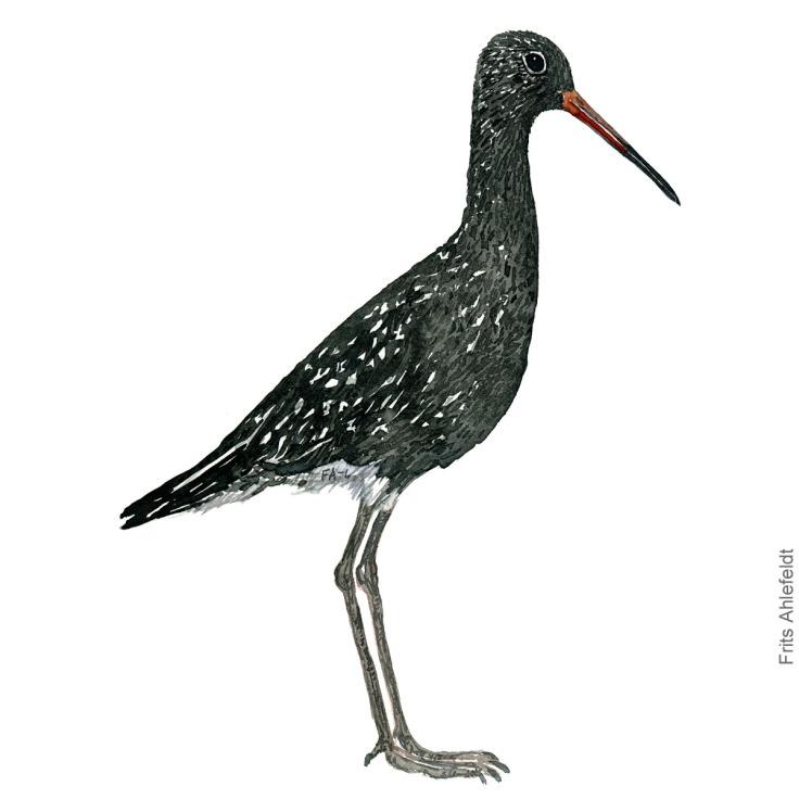 Spotted Redshank - Sortklire Bird watercolor. Fugle akvarel af Frits Ahlefeldt