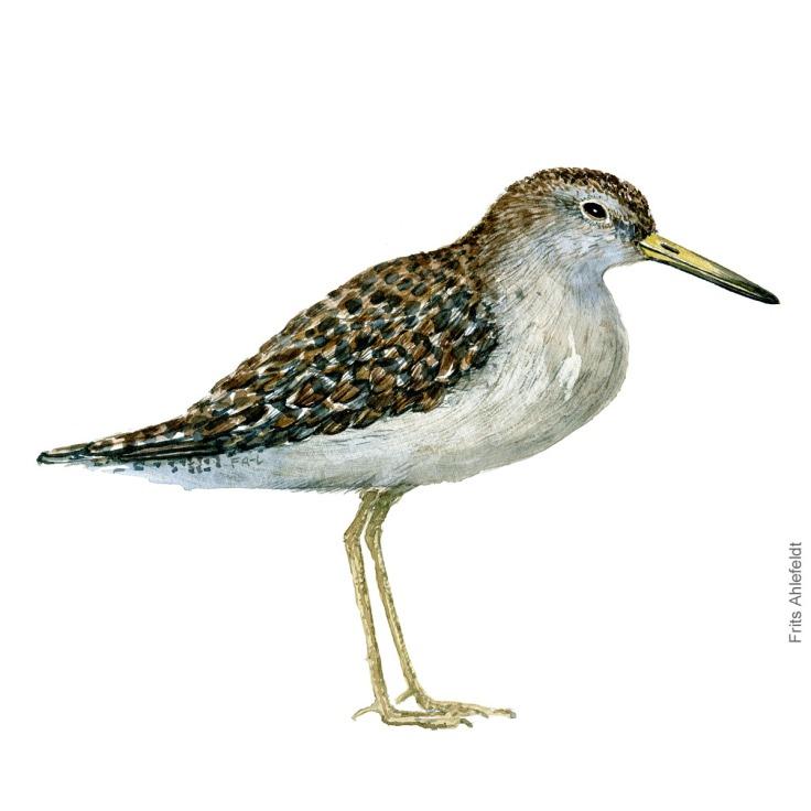 Tinksmed - Wood sandpiper Bird watercolor. Fugle akvarel af Frits Ahlefeldt