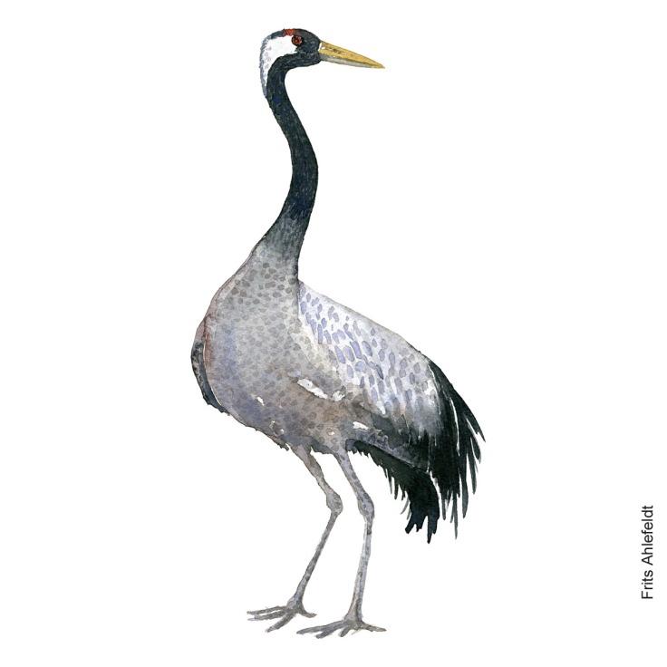Trane - crane Bird watercolor. Fugle akvarel af Frits Ahlefeldt
