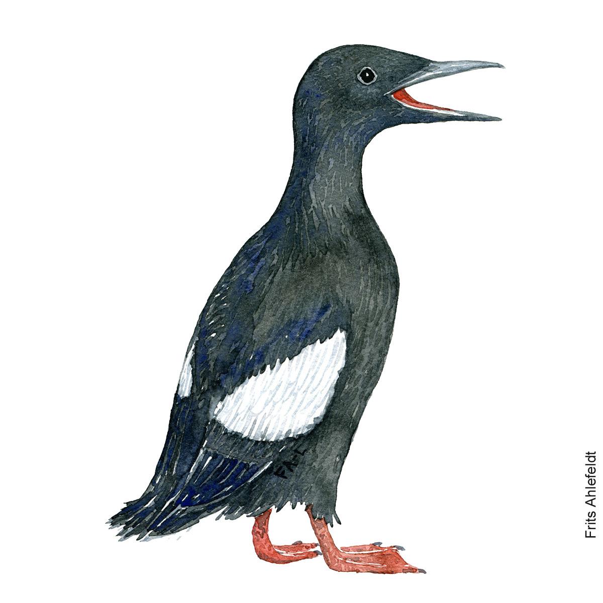 tejst - Black guillemot watercolor. Akvarel af Frits Ahlefeldt