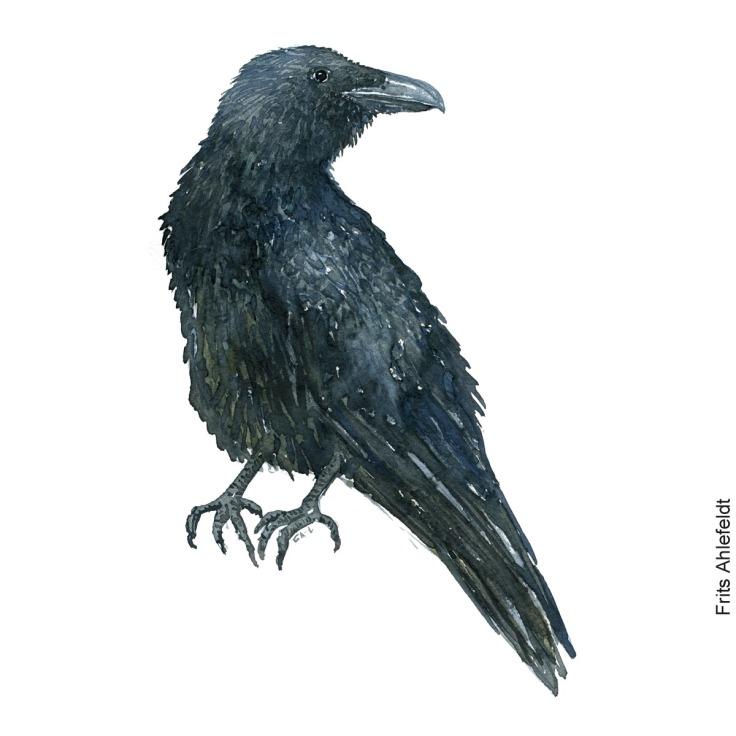 Ravn fugl - Raven watercolor. Akvarel af Frits Ahlefeldt