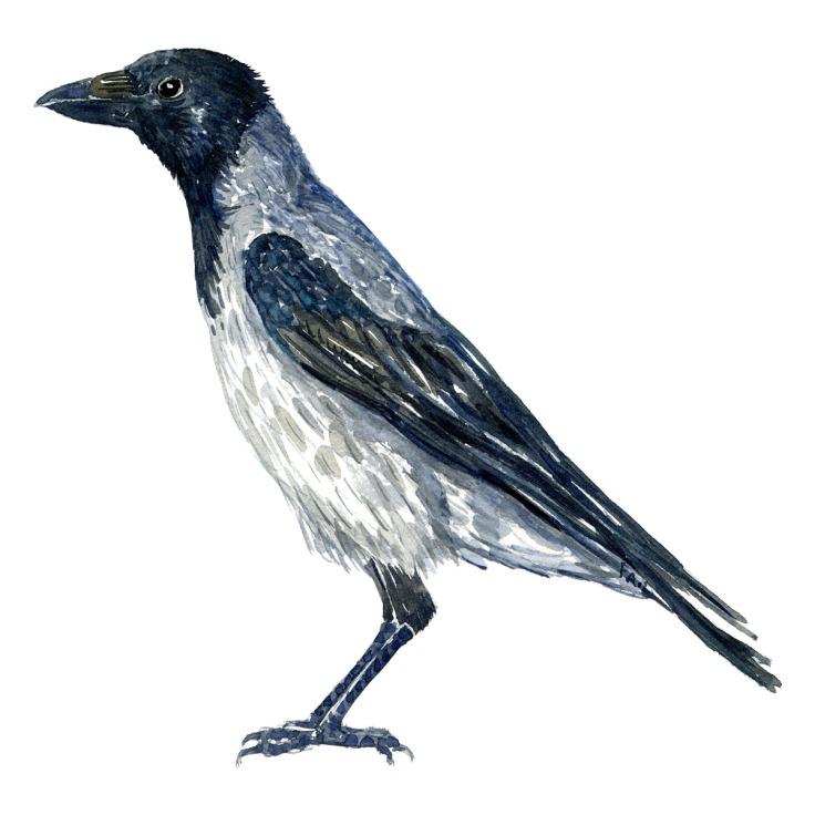 Krage - Crow watercolor. Akvarel af Frits Ahlefeldt