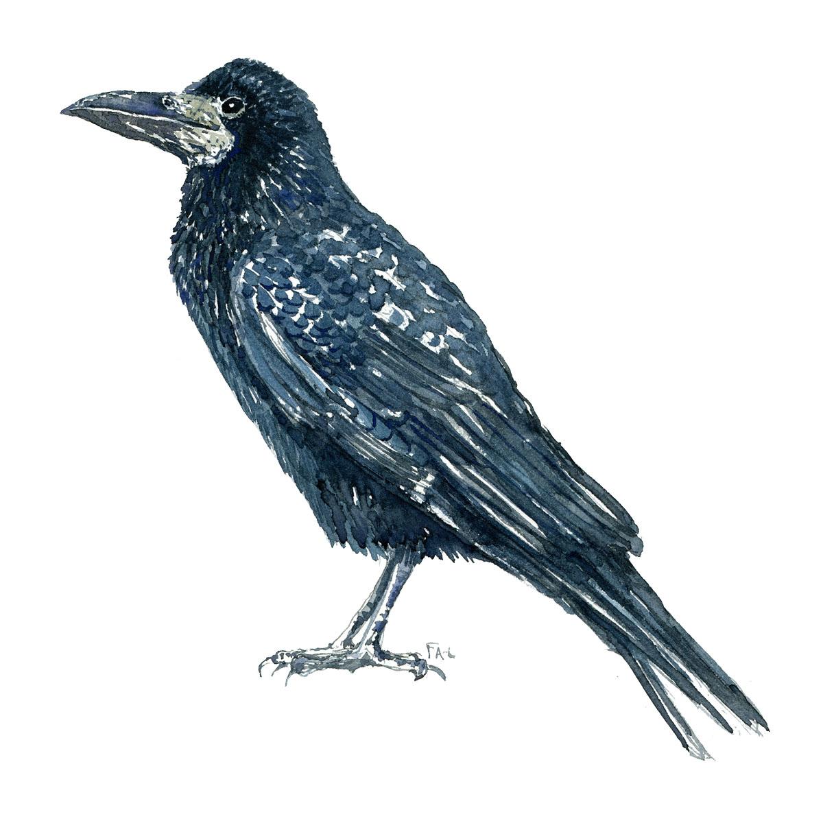 Dw00199 Raage - Rook Bird watercolor. Akvarel af Frits Ahlefeldt