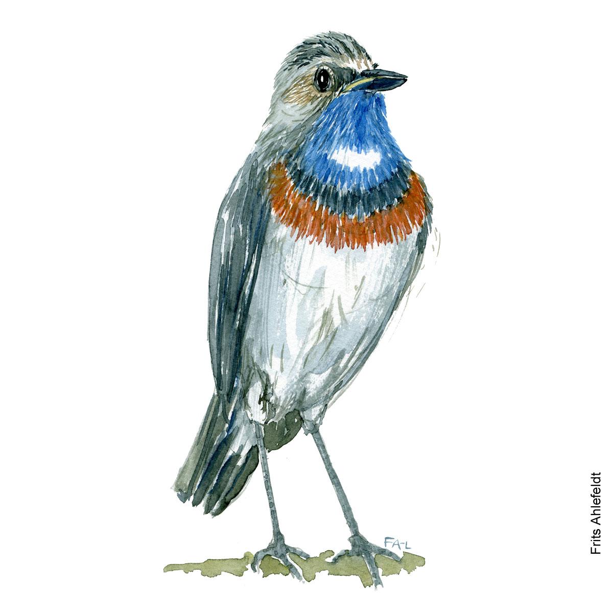 Blaahals - Bluethroat bird watercolor. Akvarel af Frits Ahlefeldt
