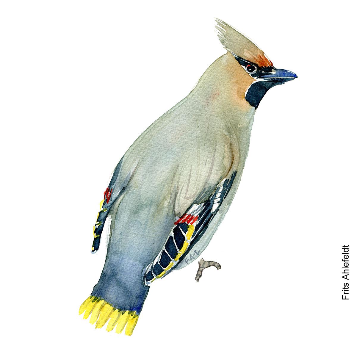 Dw00211 Silkehale - Bohemian waxwing bird watercolor. Akvarel af Frits Ahlefeldt