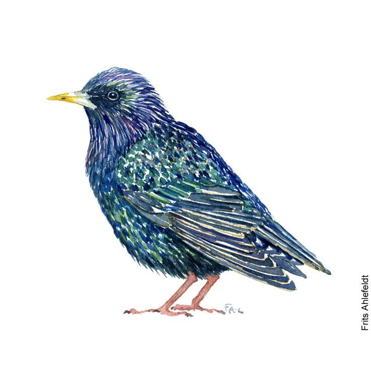 Dw00212 Staer - Common starling bird watercolor. Akvarel af Frits Ahlefeldt