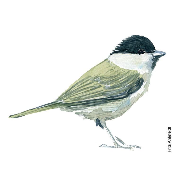 Sumpmejse - Marsh tit bird watercolor. Akvarel af Frits Ahlefeldt