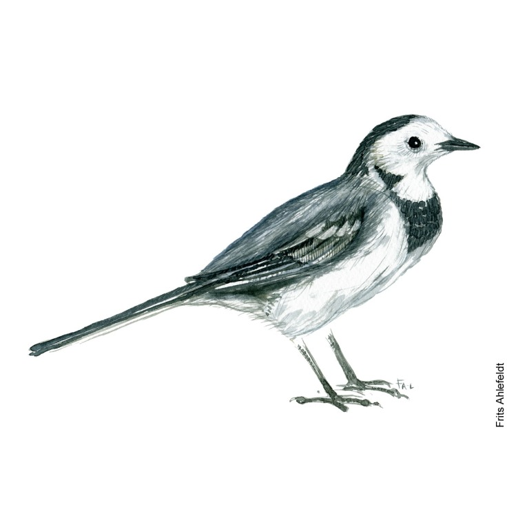 White wagtail - vipstjert - watercolor. Akvarel af Frits Ahlefeldt
