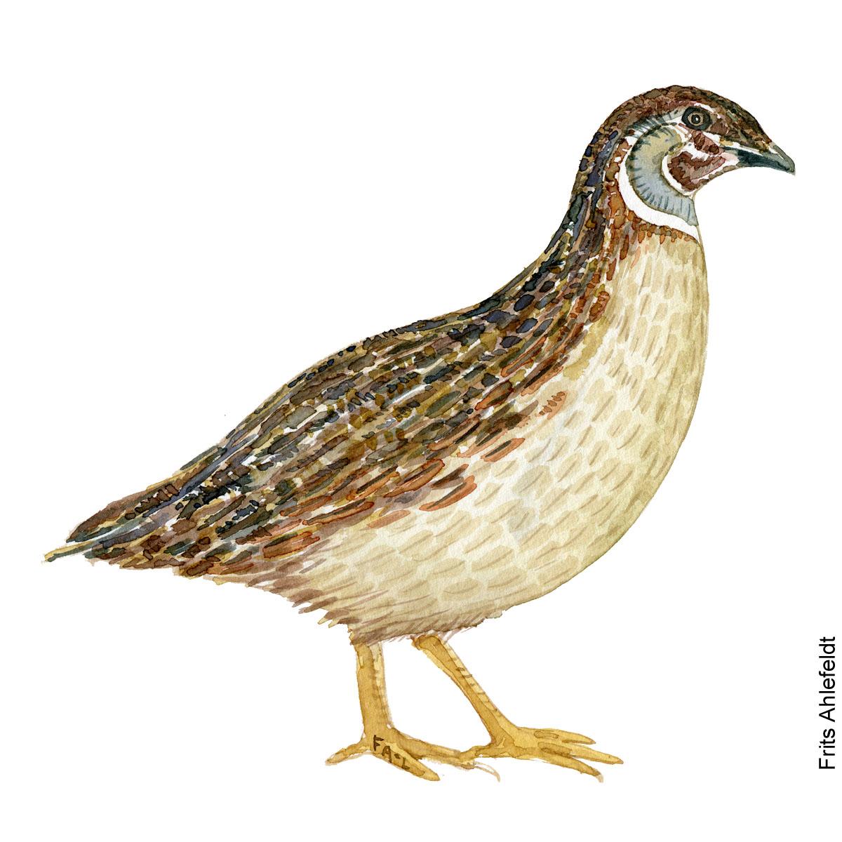 Vagtel - Common quail bird watercolor. Akvarel af Frits Ahlefeldt