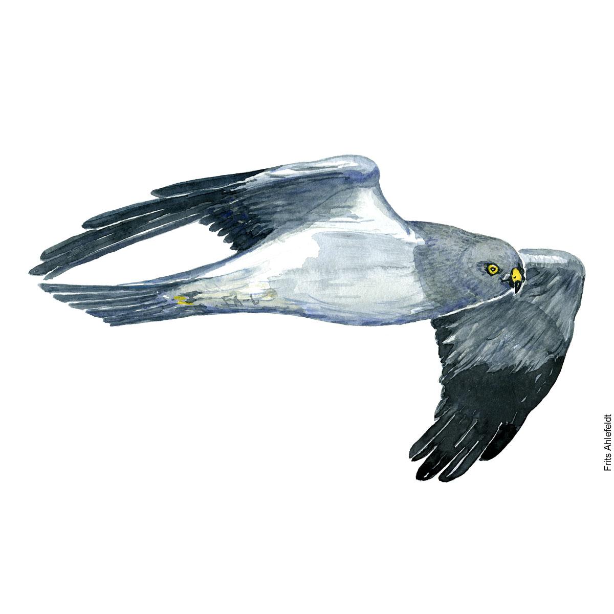 Blaa kaerhoeg - henharrier bird watercolor. Akvarel af Frits Ahlefeldt