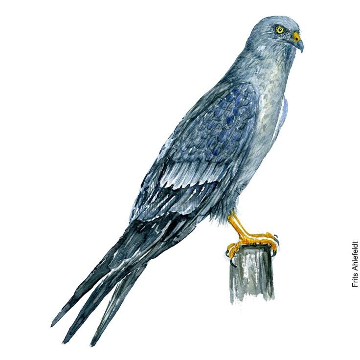 Hedehøg - Montagu Harrier bird watercolor. Akvarel af Frits Ahlefeldt
