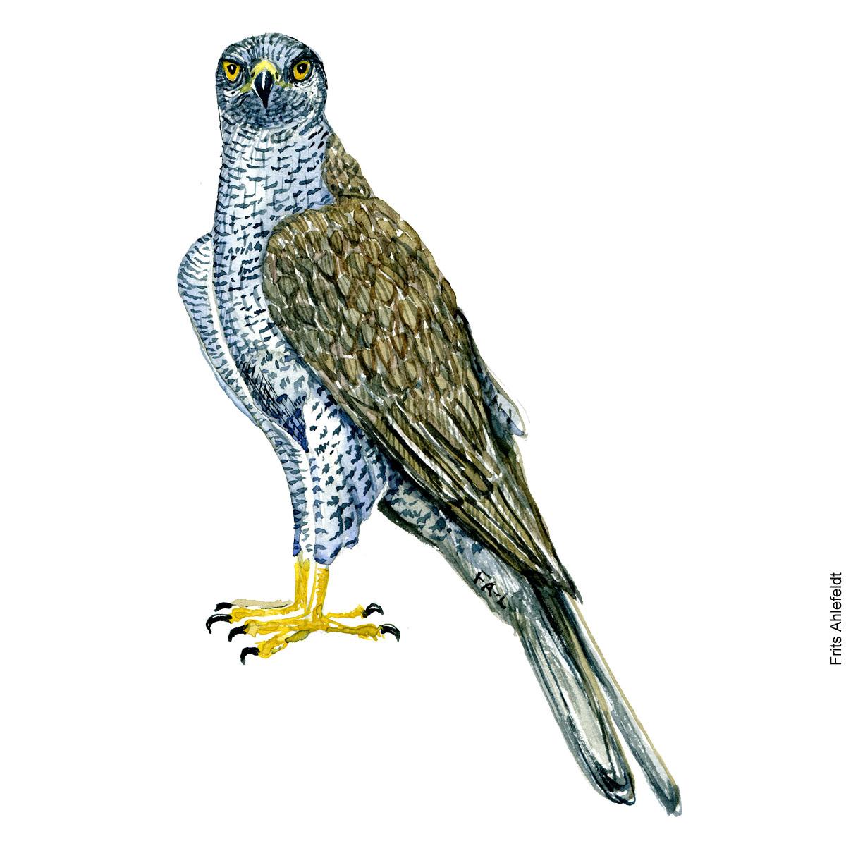 Duehøg - Northern goshawk raptor watercolor. Akvarel af Frits Ahlefeldt