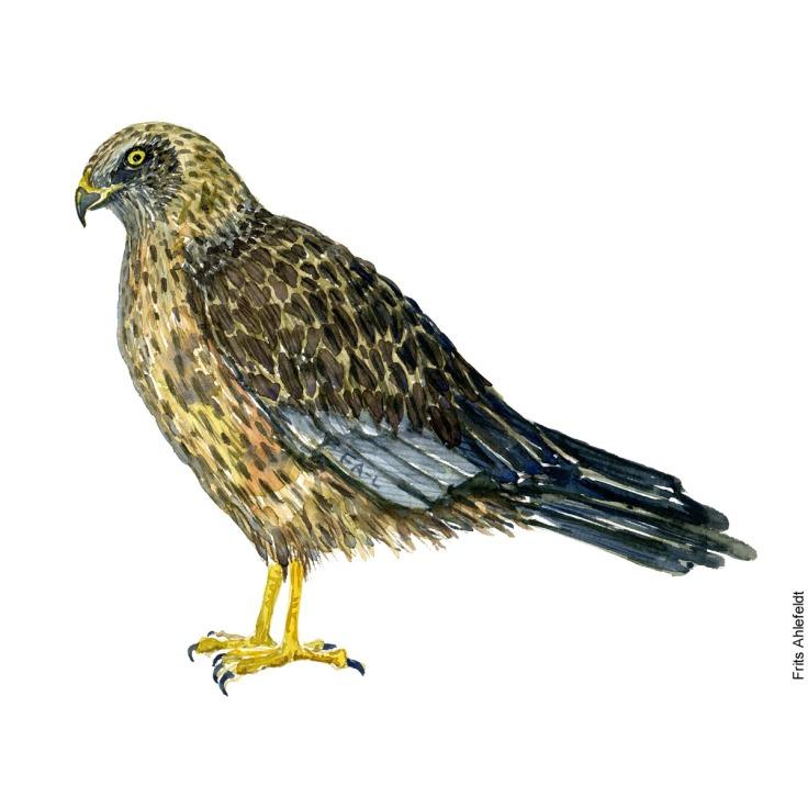 Rørhøg - Western Marsh harrier raptor watercolor. Akvarel af Frits Ahlefeldt
