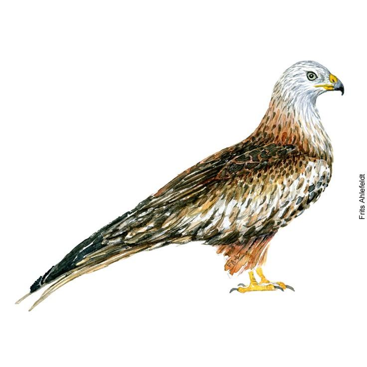 Rød glente - Red kite raptor bird watercolor. Akvarel af Frits Ahlefeldt
