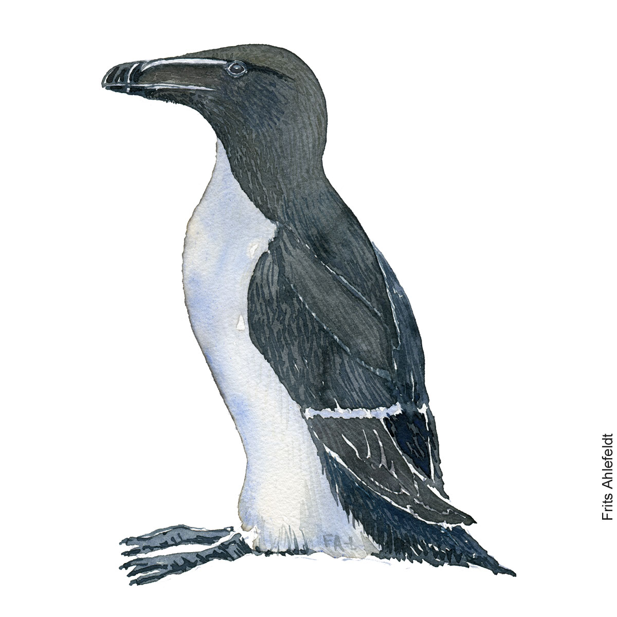Alk - Razorbill bird watercolor. Akvarel by Frits Ahlefeldt