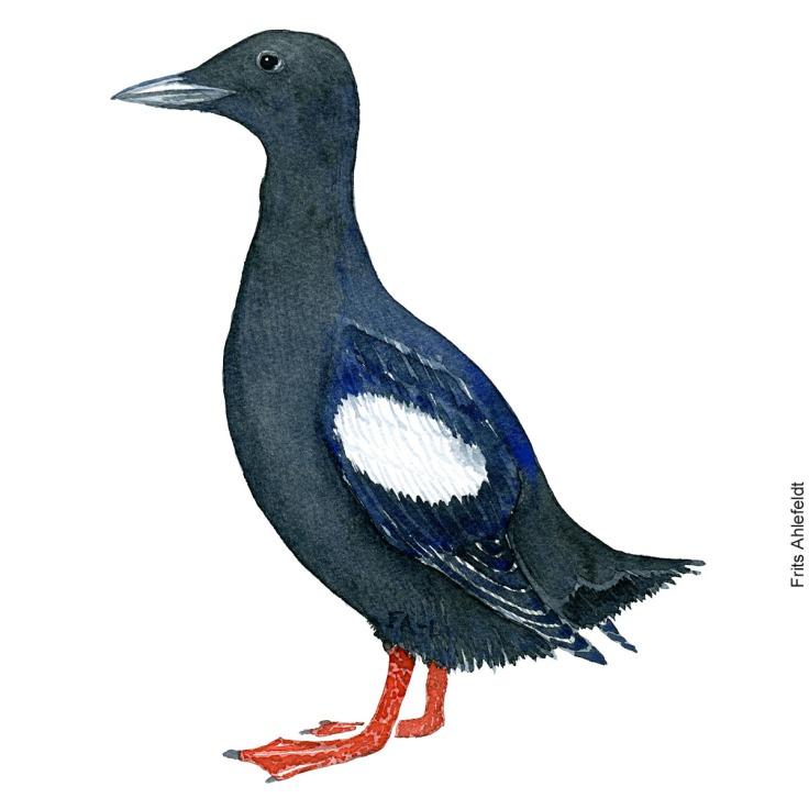 Black guillemot - tejst. bird watercolor. Akvarel by Frits Ahlefeldt