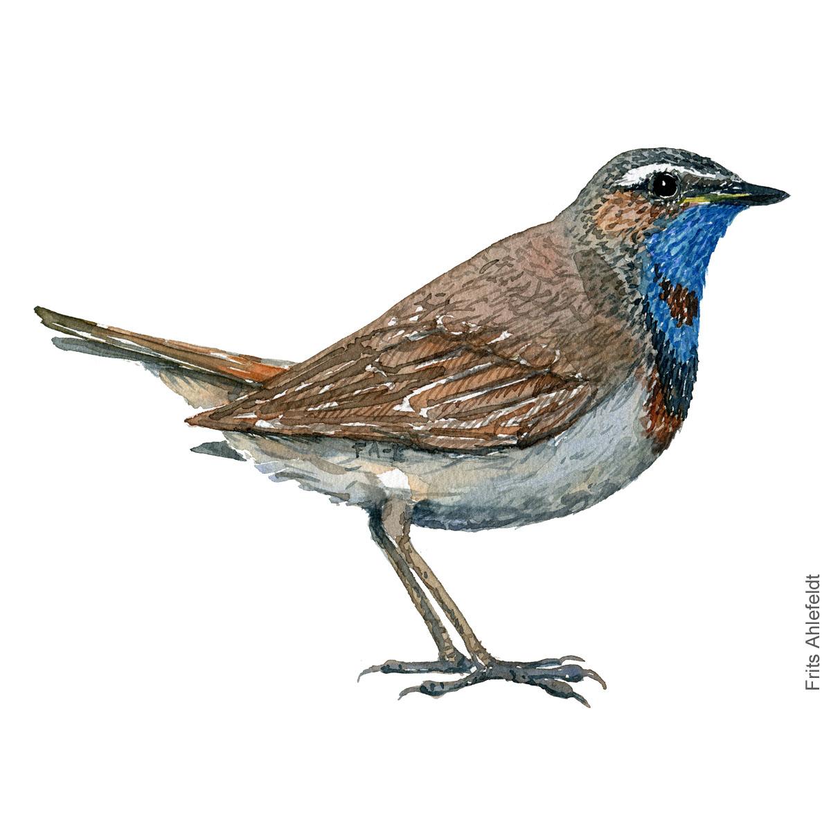 Blåhals - Bluethroat bird watercolor. Akvarel by Frits Ahlefeldt