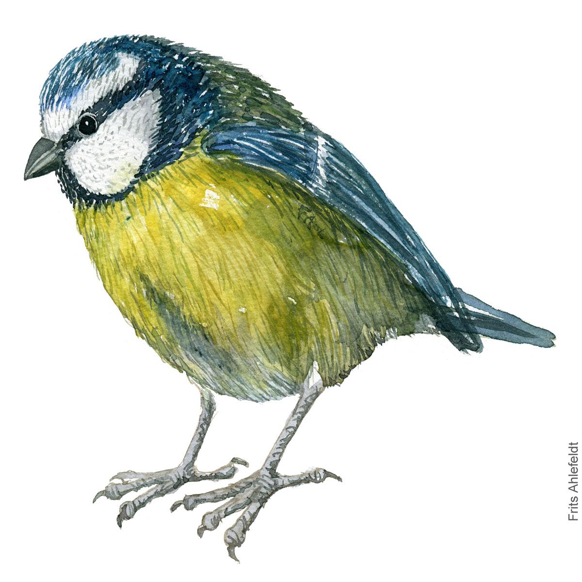 Blåmejse - Eurasian Blue tit bird watercolor. Akvarel by Frits Ahlefeldt
