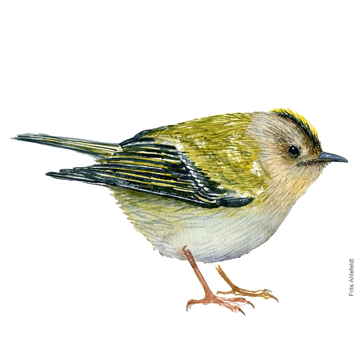 Goldcrest, Fuglekonge akvarel. Watercolor painting by Frits Ahlefeldt