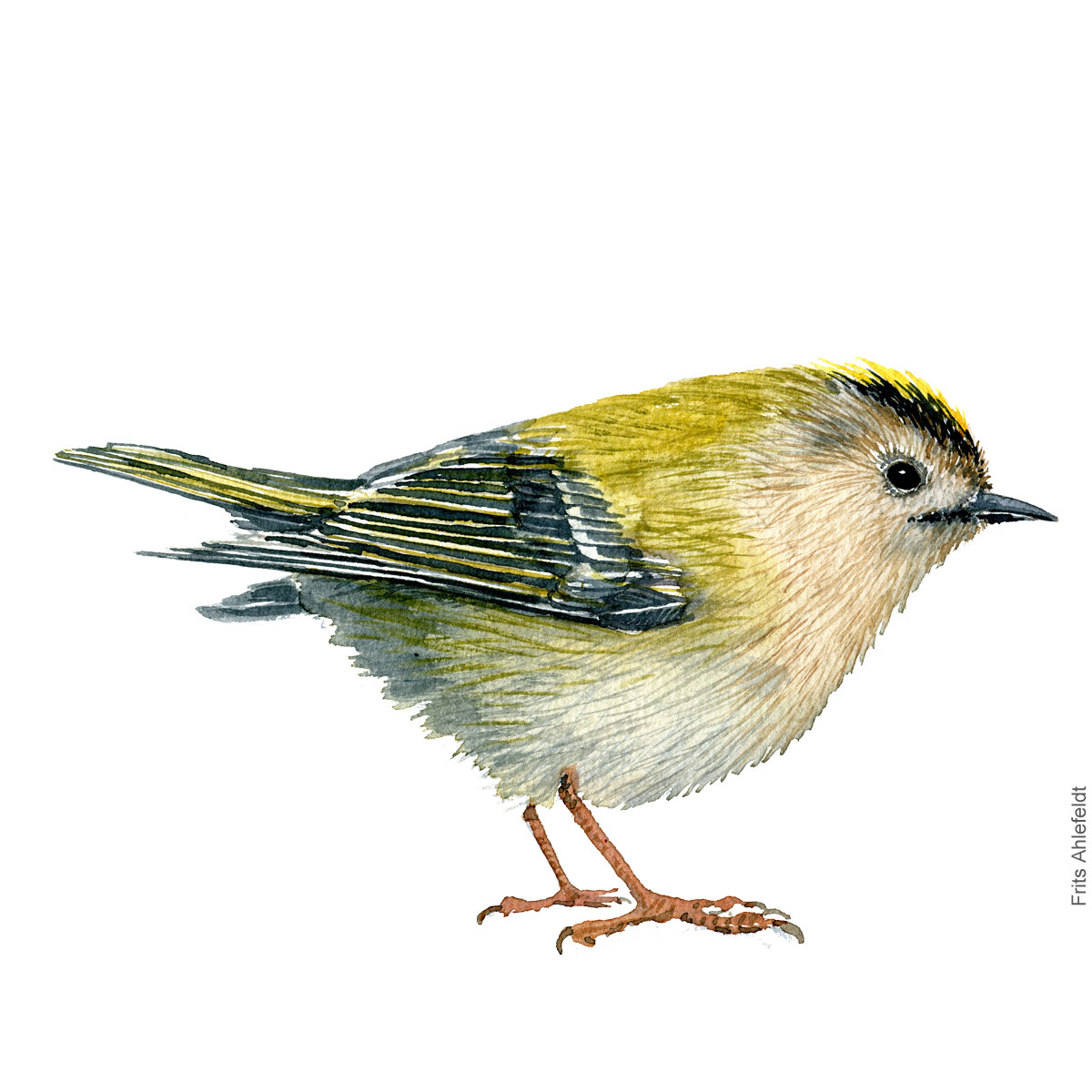 Goldcrest - Fuglekonge akvarel. Watercolor painting by Frits Ahlefeldt