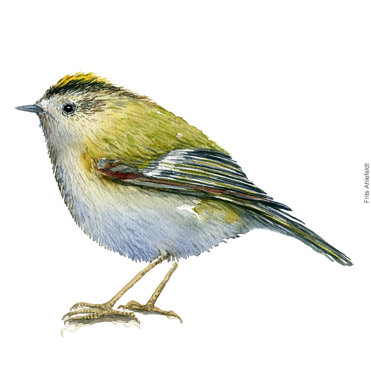 Goldcrest - Fuglekonge. akvarel. Watercolor painting by Frits Ahlefeldt