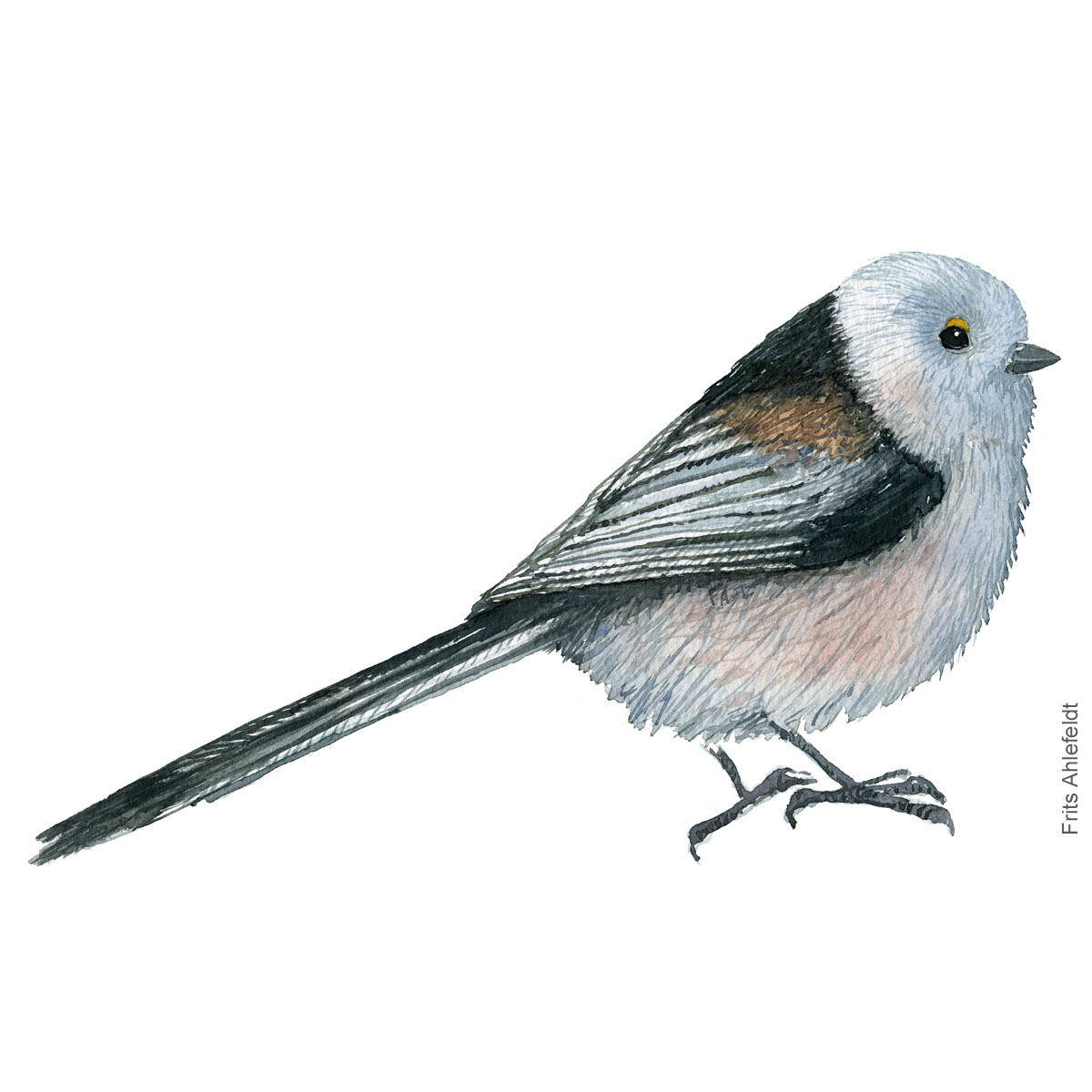 Long tailed tit. Halemejse akvarel. Watercolor painting by Frits Ahlefeldt