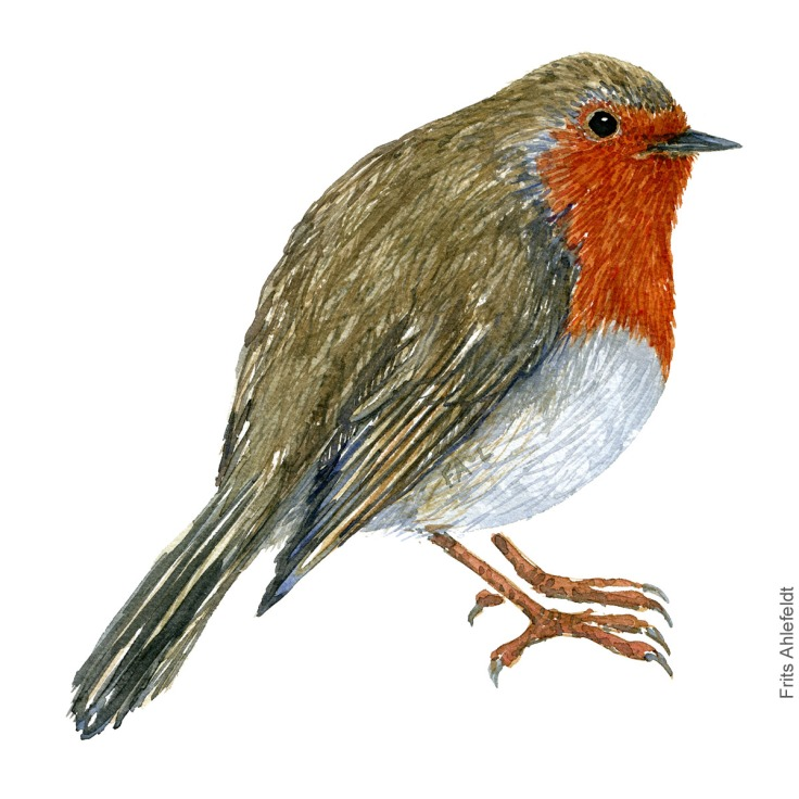 Robin - Rødhals akvarel. Watercolor painting by Frits Ahlefeldt
