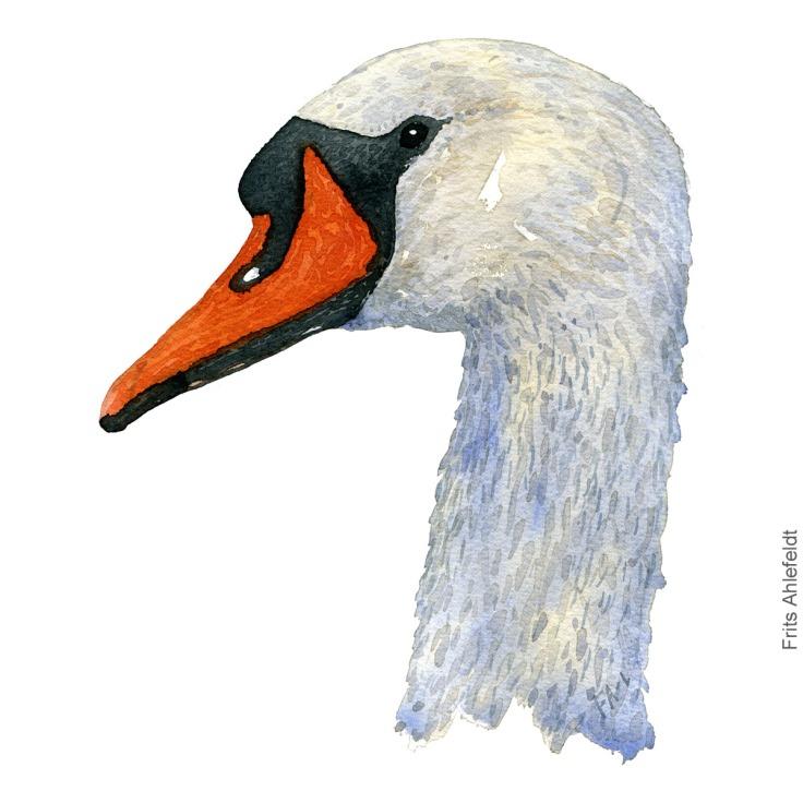 Mute swan head. akvarel. Watercolor painting by Frits Ahlefeldt