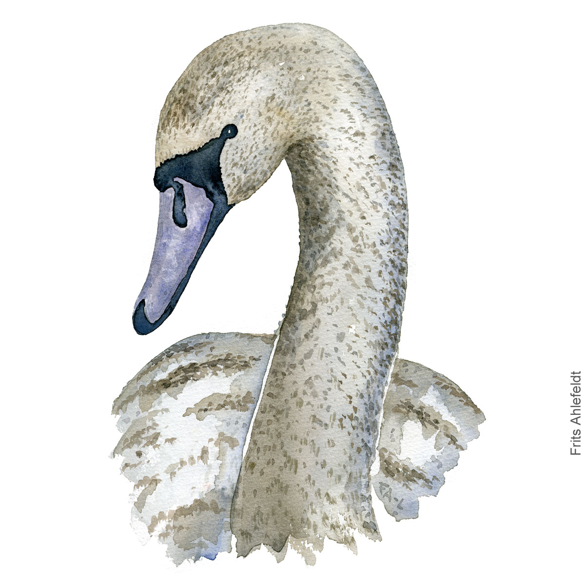 Mute swan young. ung knopsvane akvarel. Watercolor painting by Frits Ahlefeldt