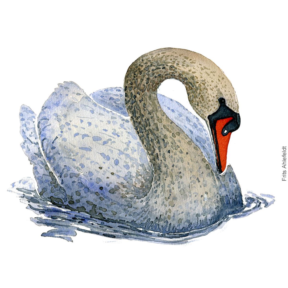 Mute swan swimming - Knopsvane akvarel. Watercolor painting by Frits Ahlefeldt