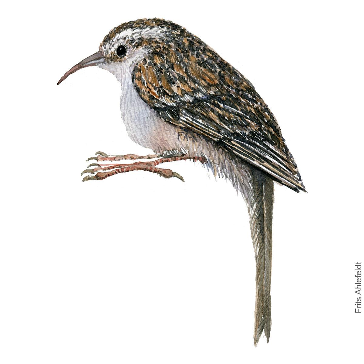 Short toed treecreeper. Korttaaet traeloeber. akvarel. Watercolor painting by Frits Ahlefeldt