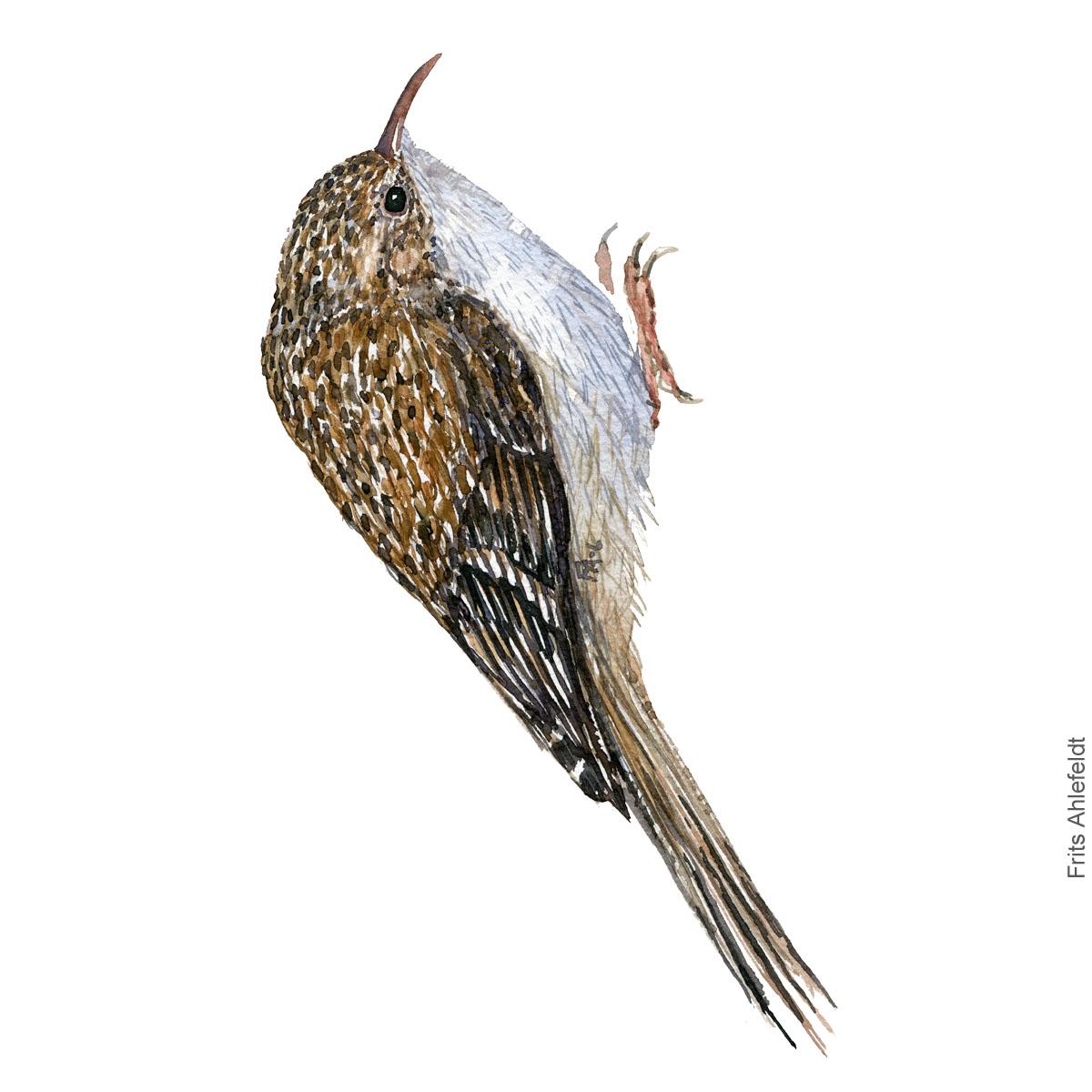 Short toed treekreeper - korttået træløber akvarel. Watercolor painting by Frits Ahlefeldt