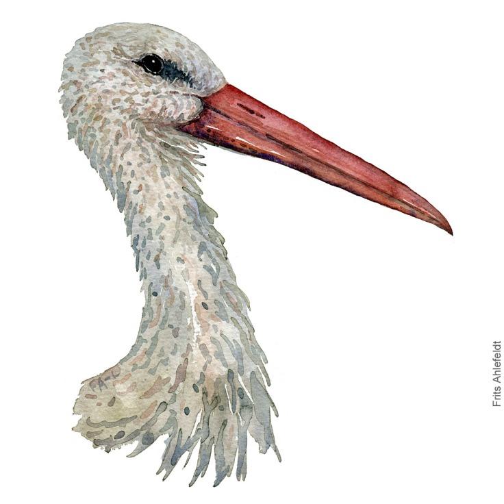 White stork head. Hvid stork akvarel. Watercolor painting by Frits Ahlefeldt