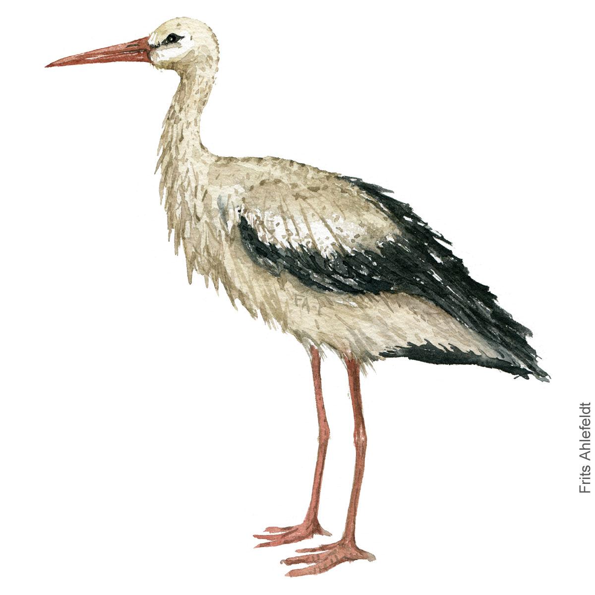 White stork, hvid stork akvarel. Watercolor painting by Frits Ahlefeldt
