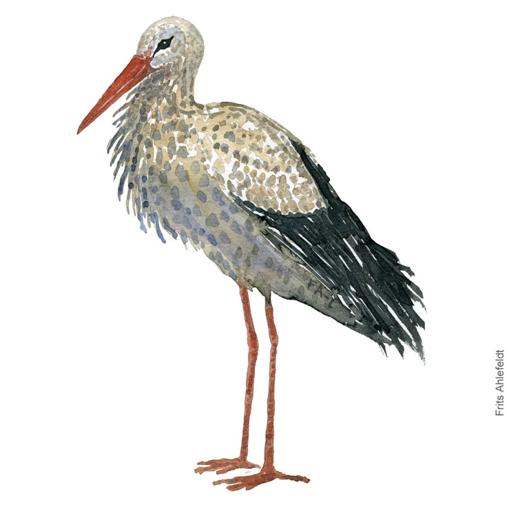 White stork - Hvid stork akvarel. Watercolor painting by Frits Ahlefeldt