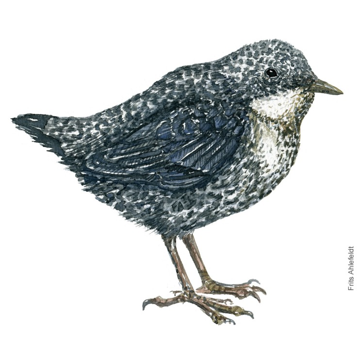Young white throated dipper, Vandstær akvarel. Watercolor painting by Frits Ahlefeldt