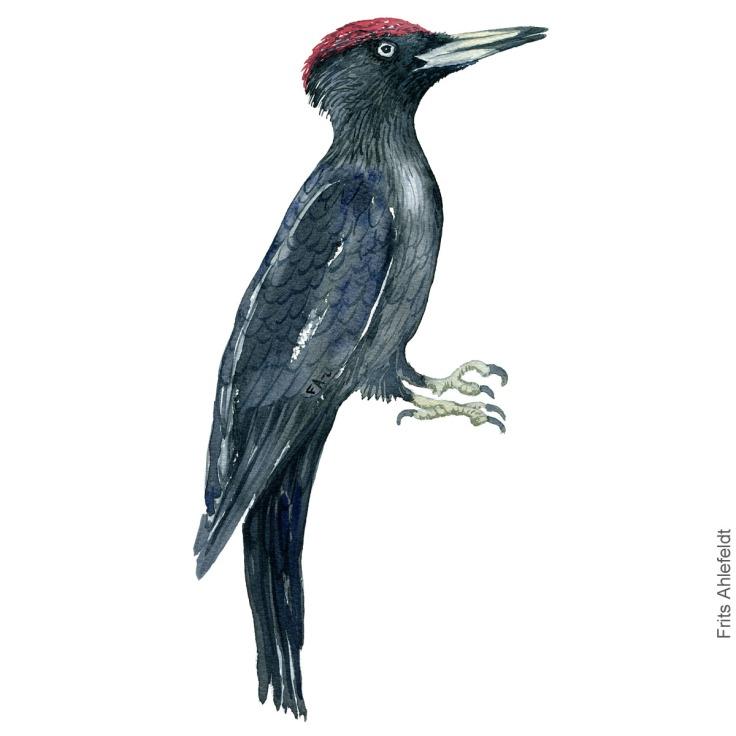 Dw00287 Black woodpecker - Sortspætte akvarel. Watercolor painting by Frits Ahlefeldt