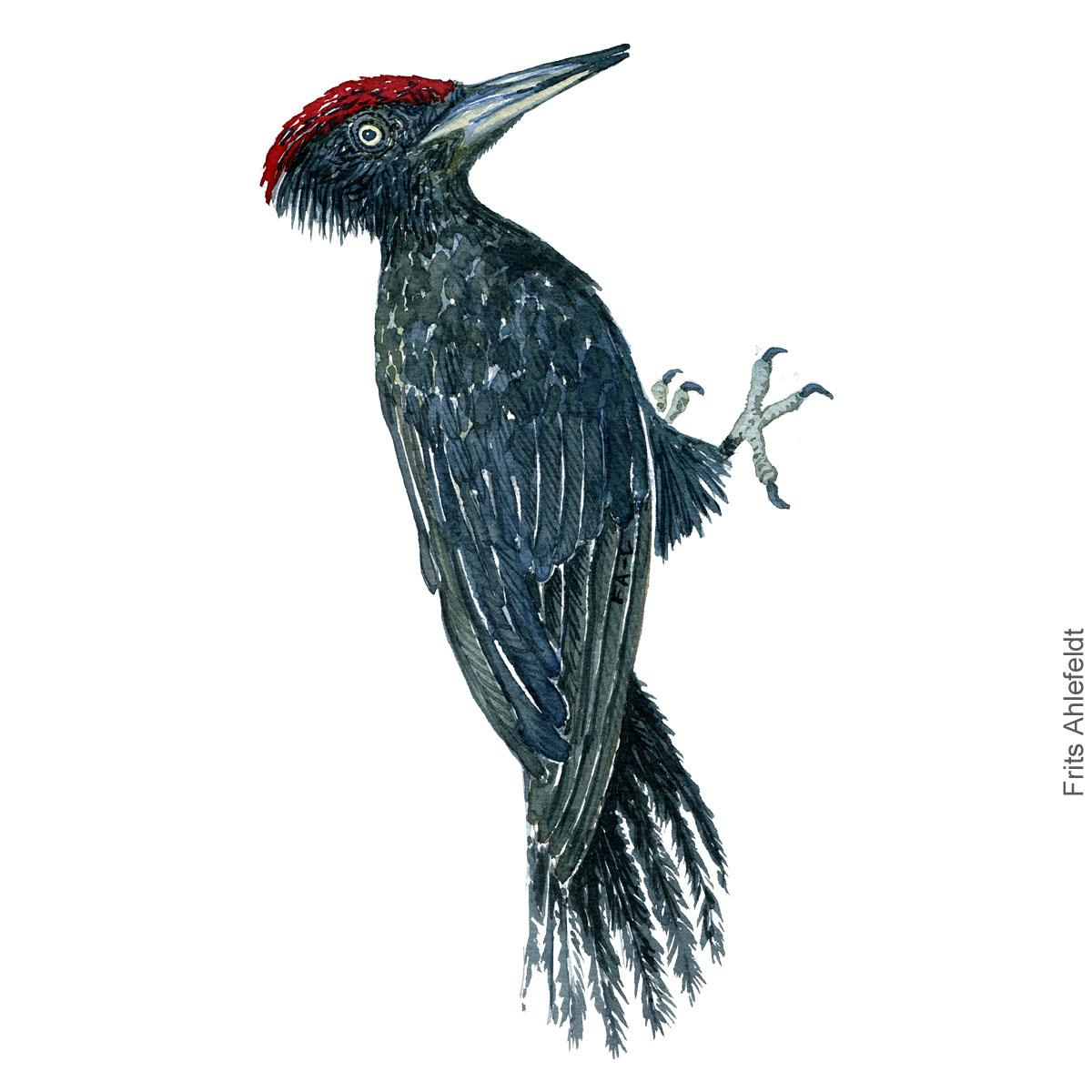 Black woodpecker - Sortspætte akvarel. Watercolor painting by Frits Ahlefeldt