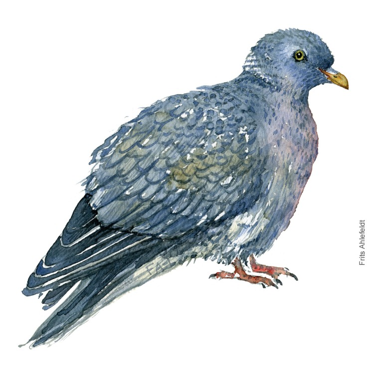 Common wood pigeon. Skovdue akvarel. Watercolor painting by Frits Ahlefeldt